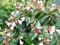 Abelia 'Edward Goucher' 50-60