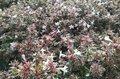 Abelia grandiflora 'Confetti' 50-60
