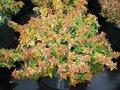 Abelia grandiflora 'Kaleidoscope' 50-60, Abelia ®