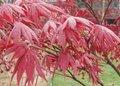 Acer palm. 'Atropurpureum' 80-100, Japanse esdoorn