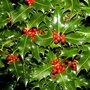 Ilex aquifolium, 125-150 met kluit Wilde hulst