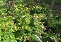 Abelia grandiflora 'Francis mason', 25-30 Abelia