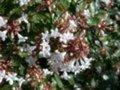 Abelia grandiflora 'Sherwood', Abelia