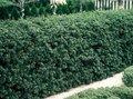 Ilex cren. 'Green Hedge', 30-40 Hulst