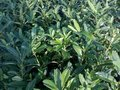 Prunus Laur. 'Caucasica', Laurierkers, 3L 50-60